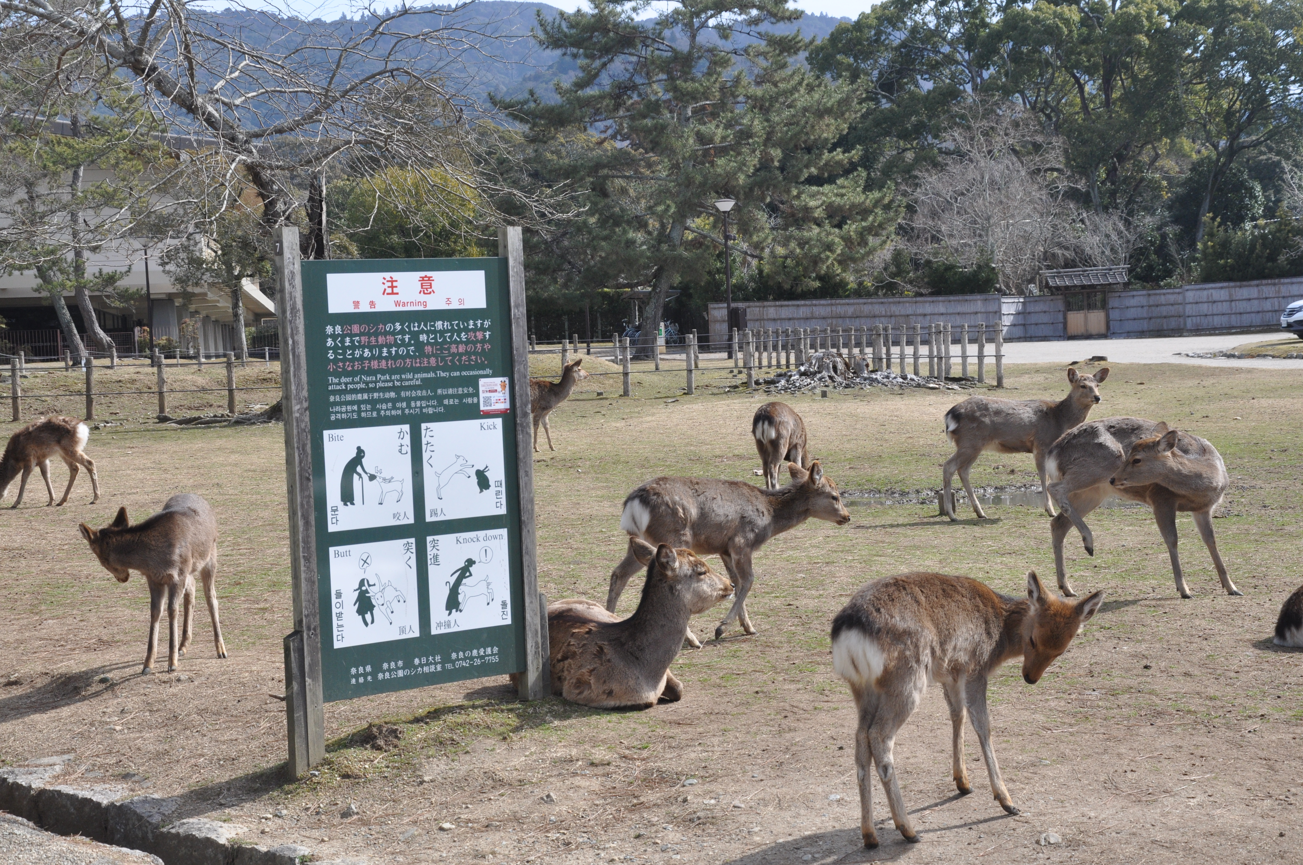 Within 5 minutes of getting off Kintetsu Nara Line, you will see deers!
